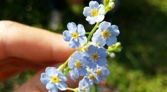 floare de nu mă uita