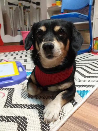 Cățelușa Betty, câine de talie mică, păr scurt, urechi blege