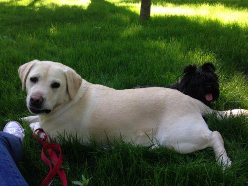 câine labrador, cu păr scurt